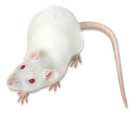 【推荐|北京现货供应SD老年鼠SD大鼠SD老龄鼠购买价格低】