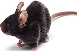 推荐 现货供应SPF级C57老年鼠C57BL小鼠c57老龄鼠