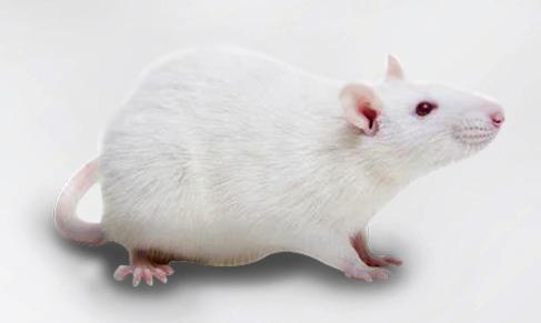 【新冠ICR-Tg(hACE2)转基因小鼠现货购买价格优惠】